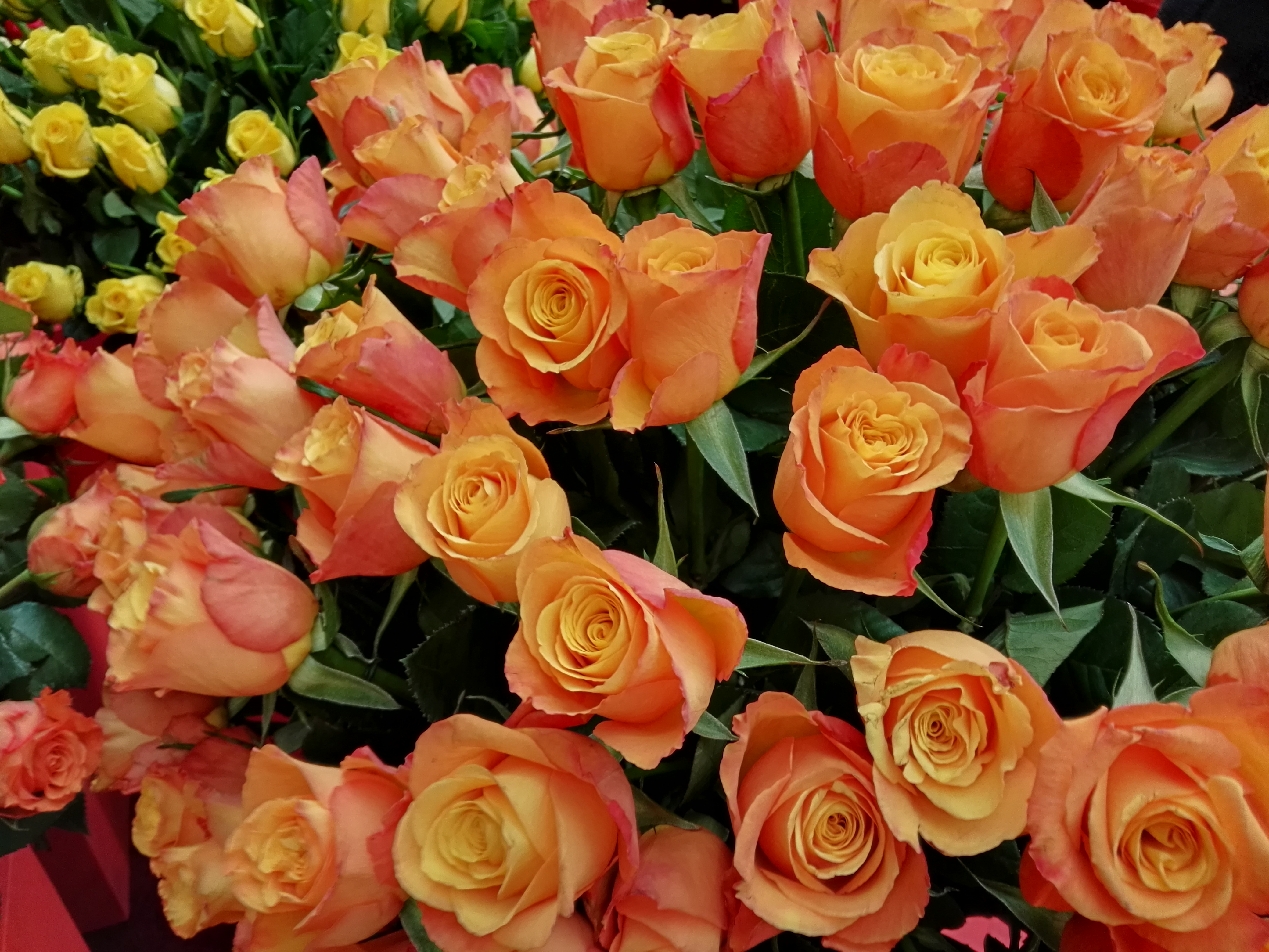 kenyas rose imports to holland When most americans think of holland, it is wooden shoes, windmills and tulips that come to mind tulips are still a huge part of the flower economy in holland however, the holland flower market is extremely diverse it is the most well-known flower center in the world floral distributors import.